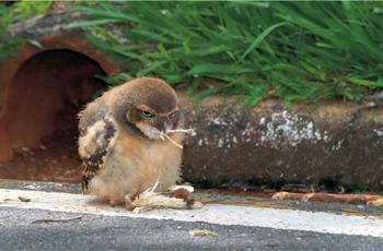 Filhote de coruja-buraqueira: brincando e treinando com o pedaço de pau