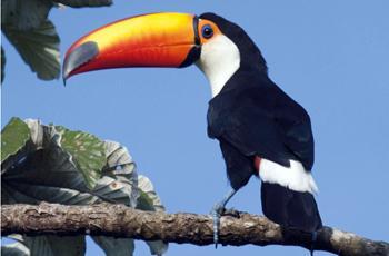 O tucano-toco: apetite também para ovos e filhotes de aves