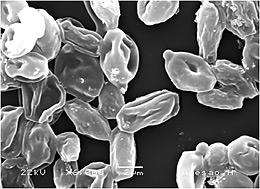 Foto de Microscopia Eletrônica de Varredura (MEV) mostra o efeito do óleo essencial do coentro (C. sativum) sobre o biofilme de Candida spp: imagem revela como as células se apresentam murchas e desidratas, em razão do efeito do óleo do coentro sobre as células da levedura, indicando a inibição do seu desenvolvimento (Divulgação)