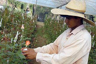 Trabalhador em canteiro de flores na cidade de Holambra, na região de Campinas: mercado movimenta R$ 3 bilhões anualmente no país (Foto: Antoninho Perri)