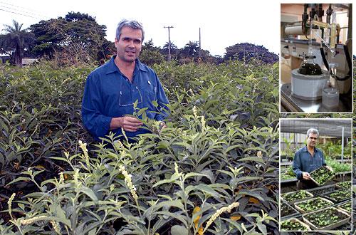 O pesquisador Pedro Melillo de Magalhães na plantação de erva baleeira, que ocupa 12 hectares do CPQBA; nos destaques,  o óleo extraído da planta e o pesquisador com as mudas: sabedoria popular rende linhas de pesquisa (Fotos: Neldo Cantanti)
