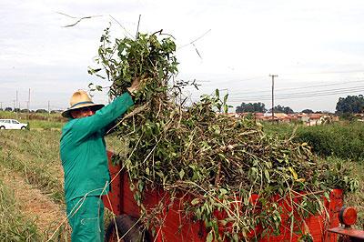 Colheita de erva-baleeira: coleção do CPQBA chega a 350 espécies  (Fotos: Neldo Cantanti)