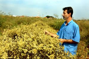 O agrônomo Ílio Montanari Júnior, coordenador das pesquisas que resultaram no cultivar, em canteiro de macelinha no CPQBA: próximo passo será a produção de sementes para agricultores interessados. (Foto: Antoninho Perri)