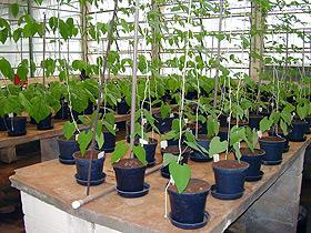 As plantas arbóreas foram submetidas a doses crescentes de chumbo e zinco: testando a tolerância (Fotos: Divulgação)